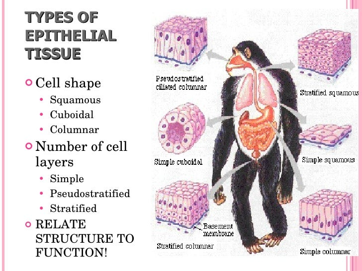 Types of Epithelial Tissue images