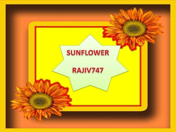 SUNFLOWER<br />RAJIV747<br />
