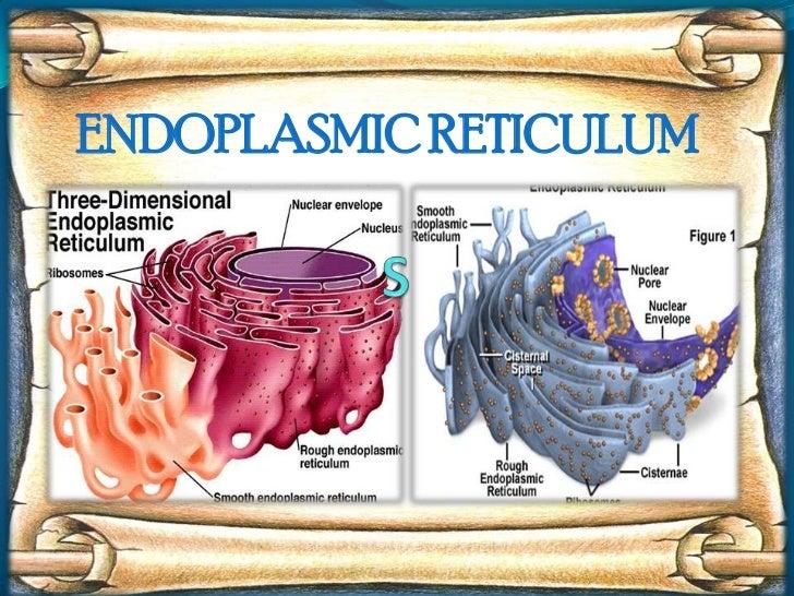 S<br />ENDOPLASMIC RETICULUM<br />