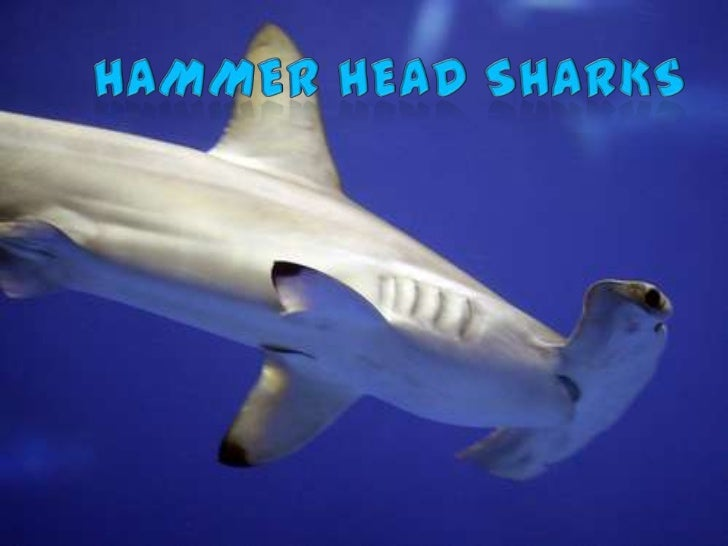 What Is A Hammerhead            Shark?-Members of the Sphyrnidae family-Includes eight species: Scalloped  Bonnethead, Win...