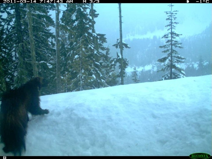 Wildlife Camera's Pemberton