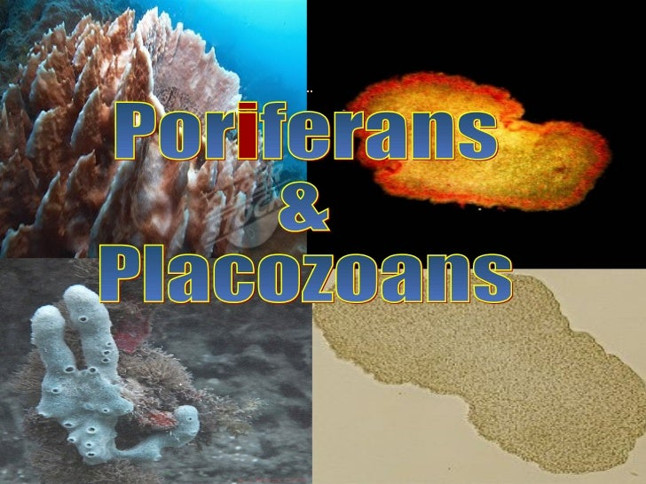 Poriferans (sponges)•   'pore bearing'•   Spongocoel•   Choanocytes or Collar cells•   Archeocytes•   Epidermal cells•   H...