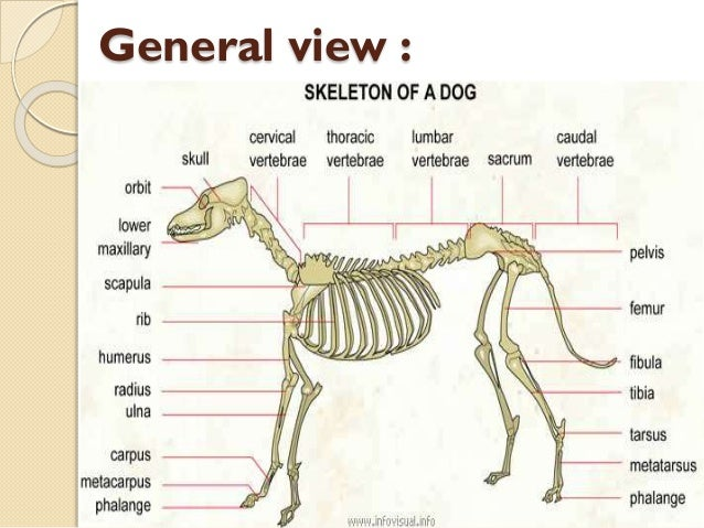 Dog anatomy bones
