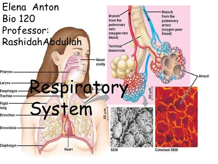 Elena  Anton<br />Bio 120<br />Professor: RashidahAbdullah<br />                     Respiratory System<br />