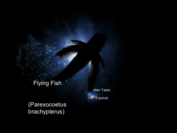 Alan Tapia 5 period Flying Fish  (Parexocoetus brachypterus)