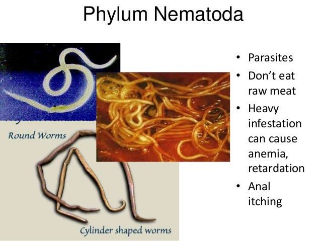 Phylum Nematoda • Parasites • Don't eat raw meat • Heavy infestation can cause anemia, retardation • Anal itching