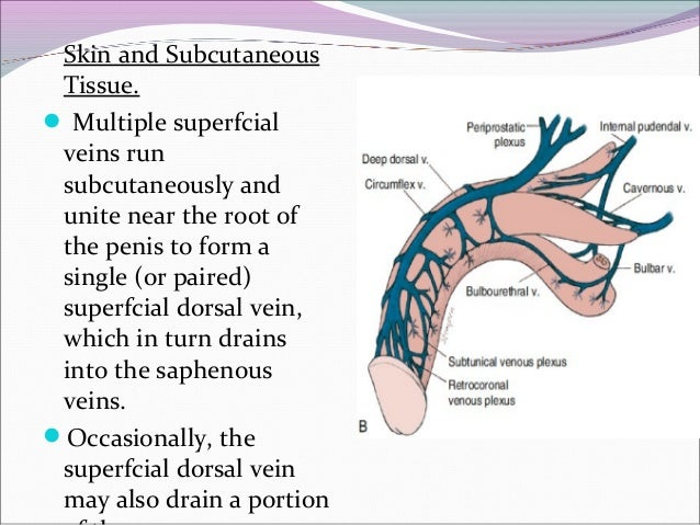 Dorsal Vein Of The Penis