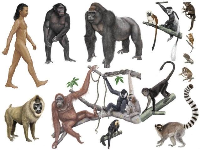 Πρωτεύοντα - Primates