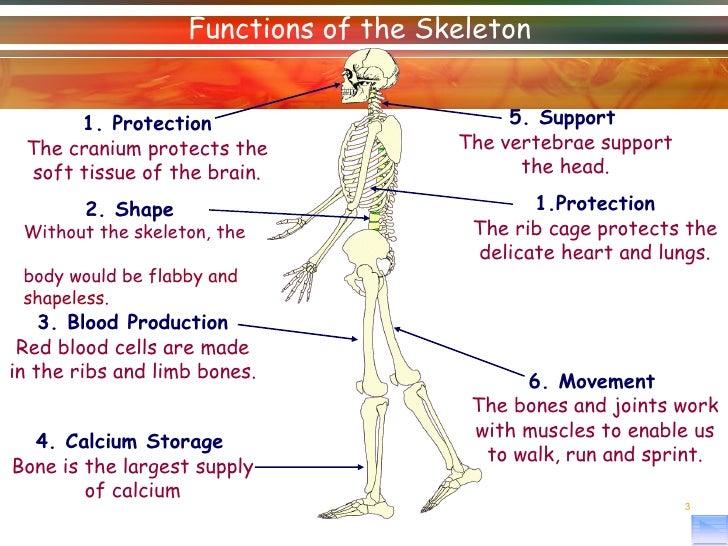 body system - livebinder, Skeleton