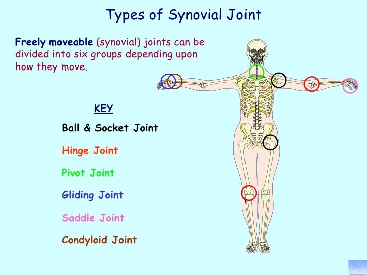 Which Letter Indicates A Synovial Diarthrotic Hinge Type Of Joint