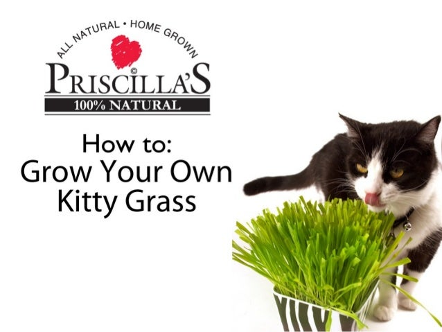 How To Grow Your Own Kitty Grass kittygrass.com