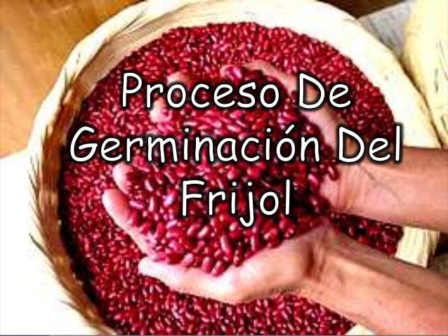 Proceso de germinación del frijol