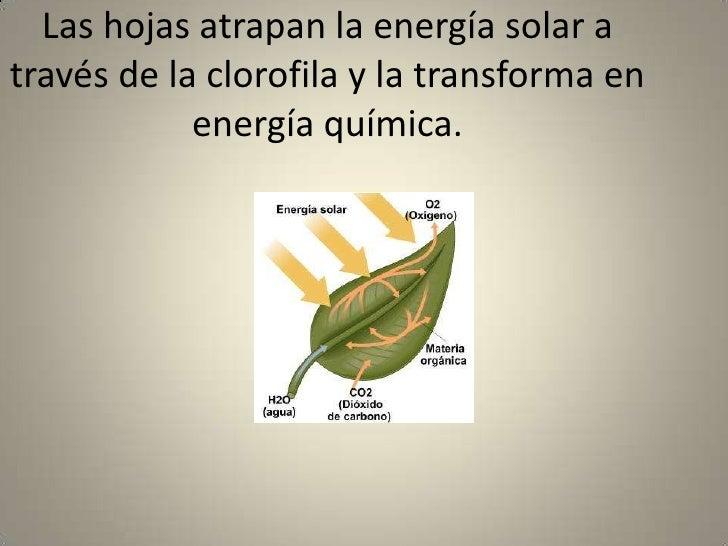 Las hojas atrapan la energía solar a través de la clorofila y la transforma en energía química.<br />