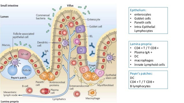 oral tolerance t cell
