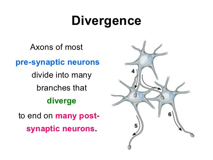 Anatomical Convergence and Divergence?