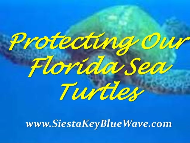 Protecting Our Florida Sea Turtles www.SiestaKeyBlueWave.com