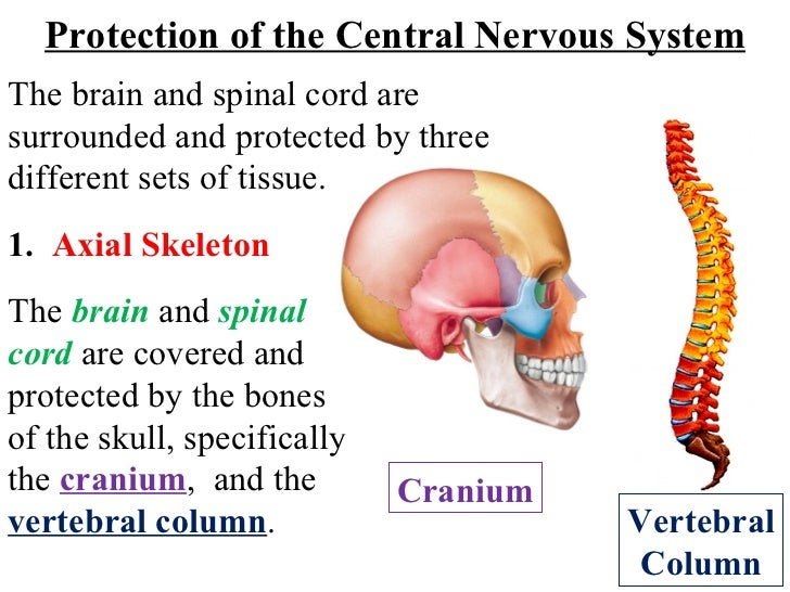 The  brain  and  spinal cord  are covered and protected by the bones of the skull, specifically the  cranium ,  and the  v...