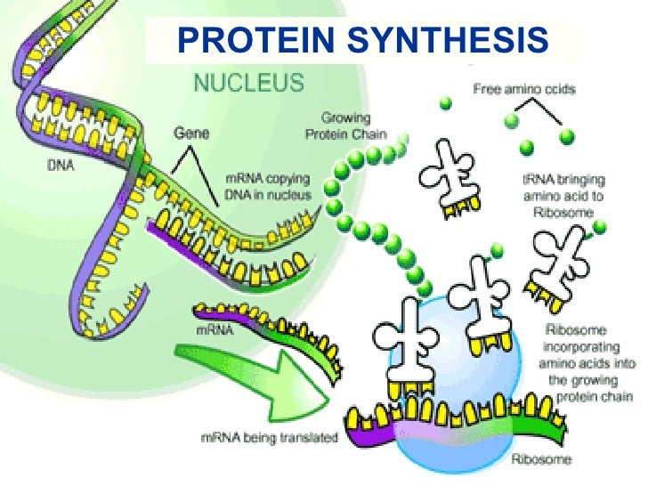 Protein Synthesis - Chemistry Department - Elmhurst College