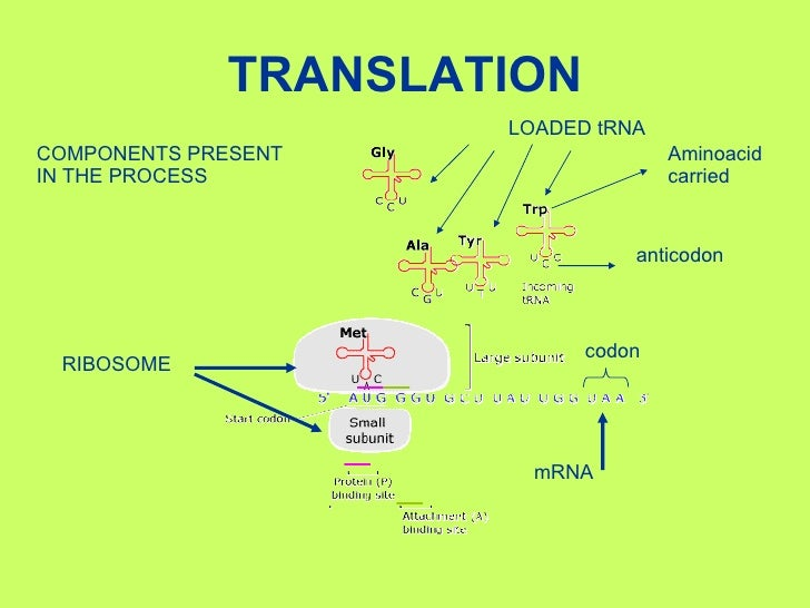 ap bio protein synthesis essay ap biology free response transcription and translation