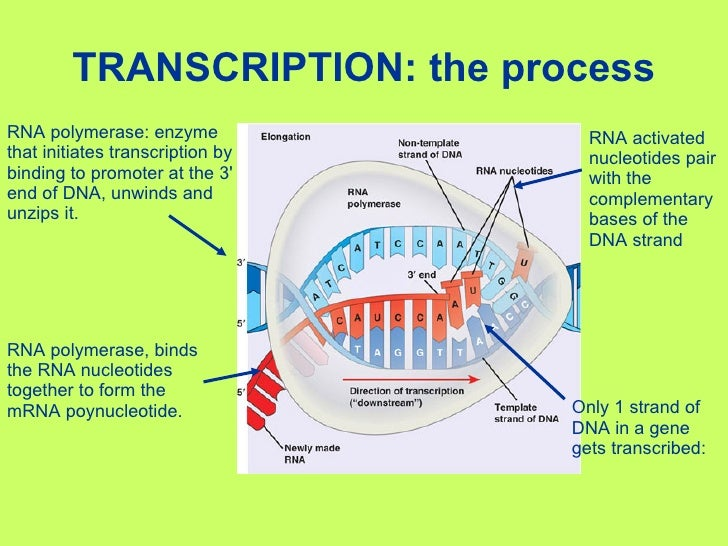 steps to protein synthesis 6 steps of protein synthesis march 17, 2016 get help step 1 a section of dna containing a gene is copied and a messenger molecule called mrna is formed.