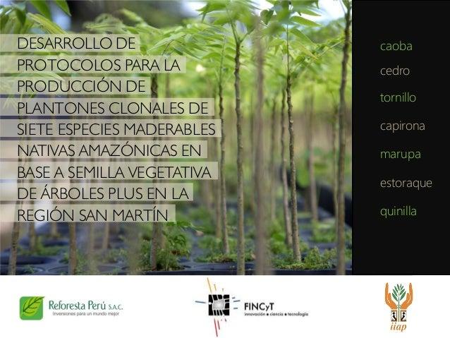 DESARROLLO DE PROTOCOLOS PARA LA PRODUCCIÓN DE PLANTONES CLONALES DE SIETE ESPECIES MADERABLES NATIVAS AMAZÓNICAS EN BASE ...