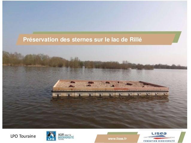 www.lisea.fr Préservation des sternes sur le lac de Rillé LPO Touraine