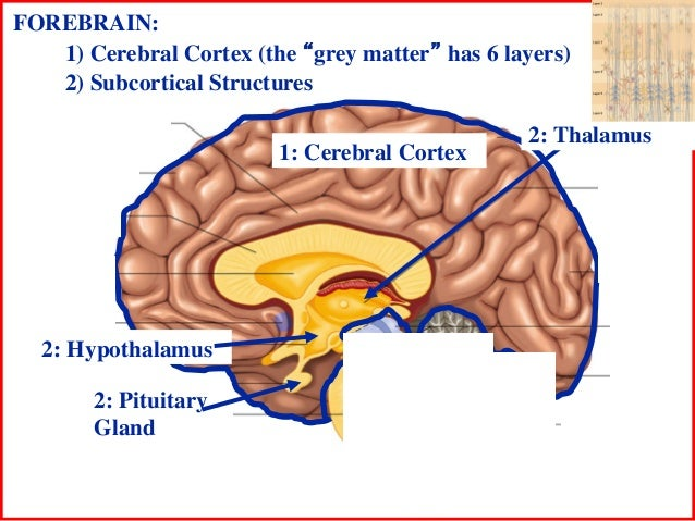 Subcortical Structures of The Brain 2 Subcortical Structures