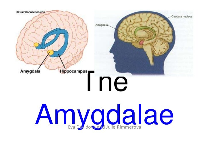 The Amygdala: Julie & Eva D