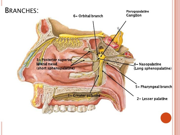 Pterygopalatine Ganglion 1 on headache location diagram