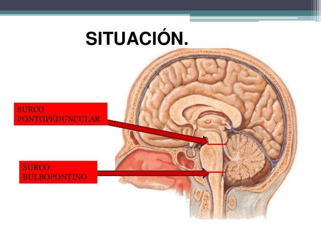 Protuberancia o puente - Anatomía del sistema nervioso