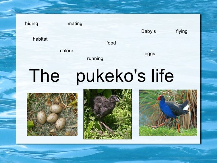 The  pukeko's life habitat food mating Baby's colour eggs flying running hiding