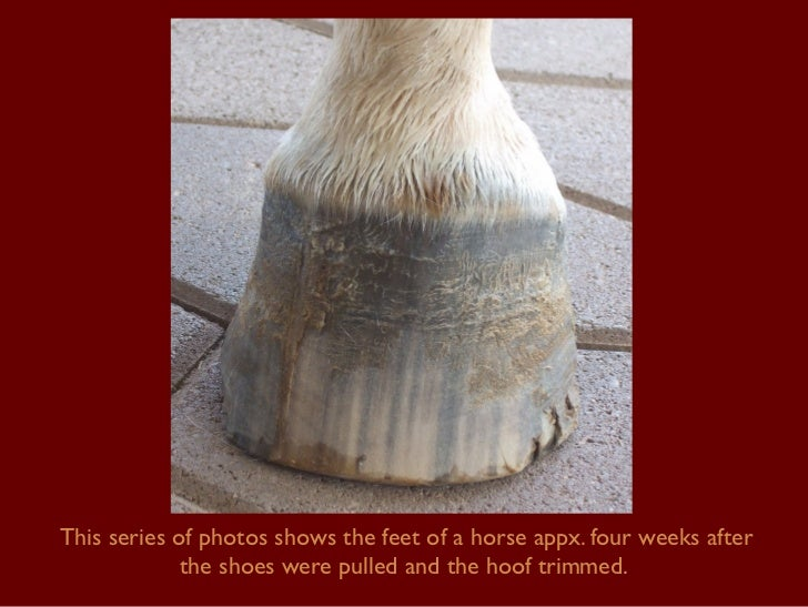 This series of photos shows the feet of a horse appx. four weeks after the shoes were pulled and the hoof trimmed.