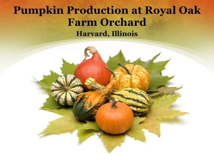 Pumpkin Production at Royal Oak Farm Orchard Harvard, Illinois