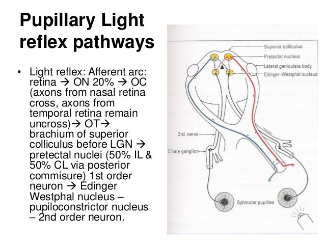 light reflex pathway Gallery
