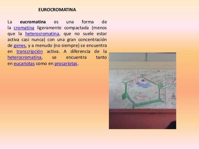 EUROCROMATINA La eucromatina es una forma de la cromatina ligeramente compactada (menos que la heterocromatina, que no sue...