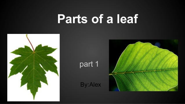 Parts of a leaf  part 1 By:Alex