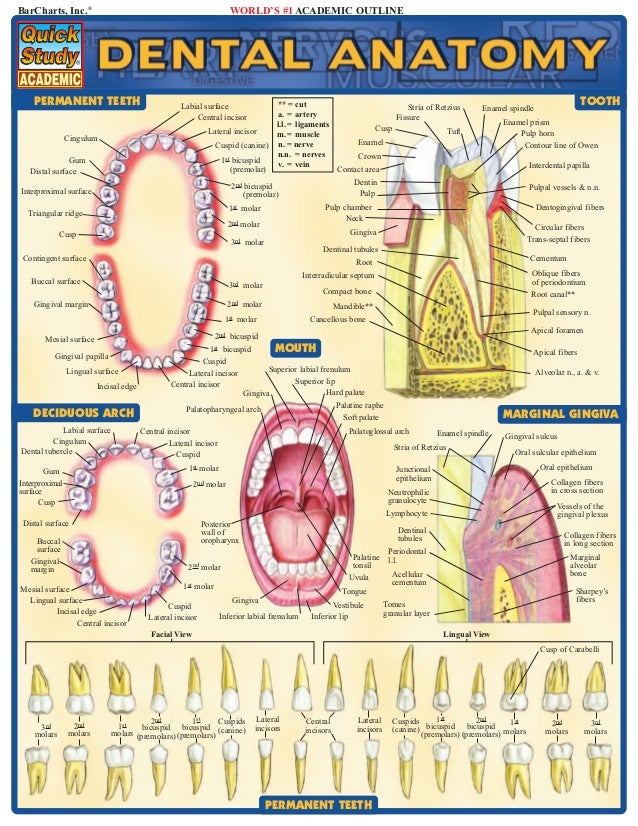 dental_anatomy - dental anatomy تشريح الأسنان  innervation  - morphology muscles