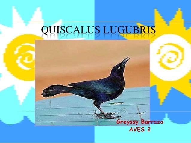 Quiscalus lugubris