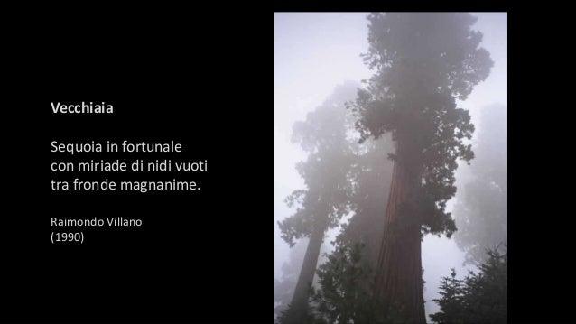 Vecchiaia Sequoia in fortunale con miriade di nidi vuoti tra fronde magnanime. Raimondo Villano (1990)