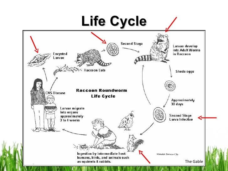Raccoon's Life Cycle - WeSharePics Raccoon Drawing