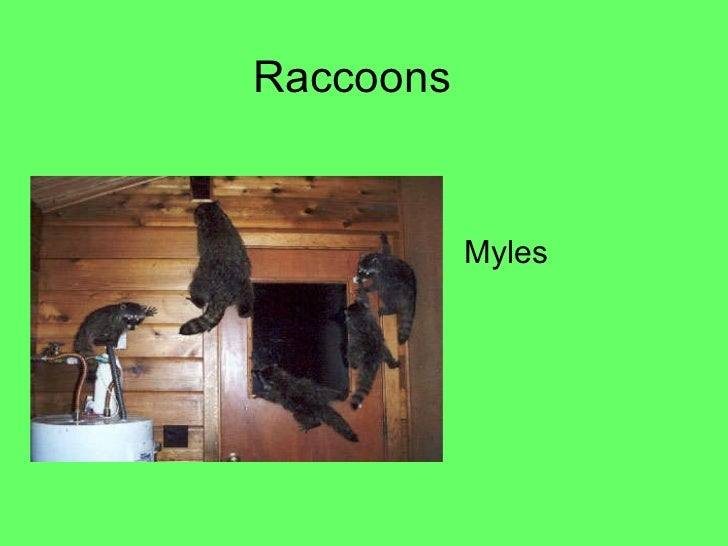 Raccoons by Myles