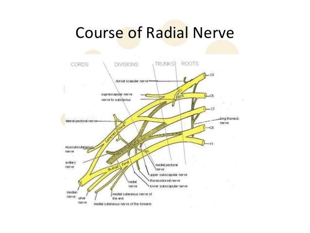Anatomy radial nerve