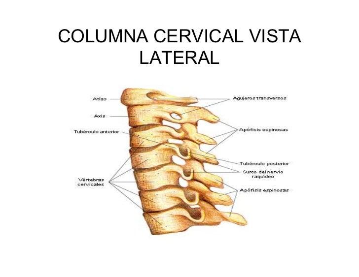 Trabajo colaborativo UD.2: 1.2.3 Columna cervical: vértebra cervical ...