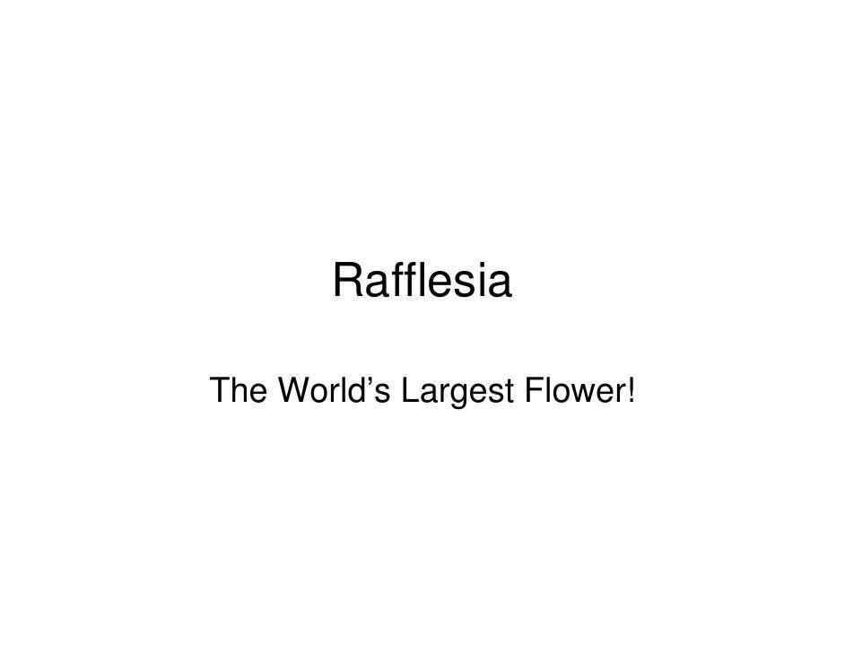 Rafflesia  The World's Largest Flower!