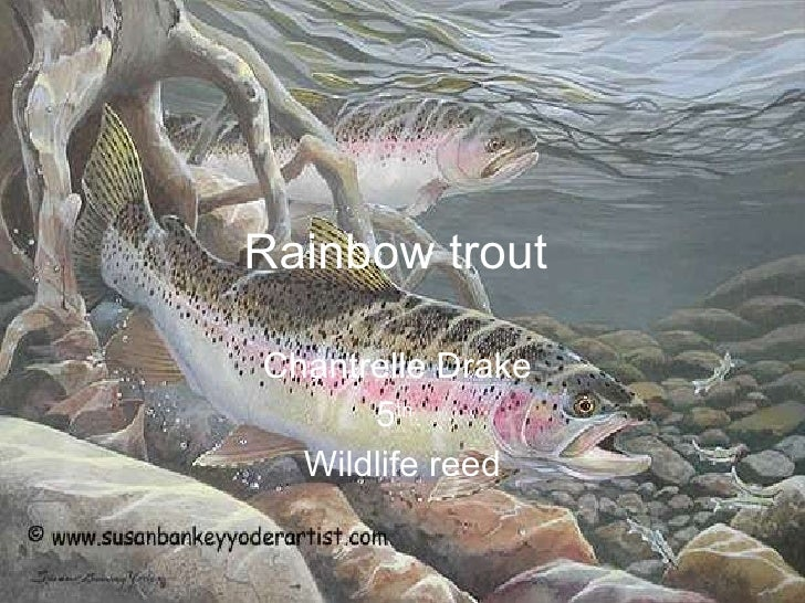 Rainbow trout   Chantrelle   Drake  5 th  Wildlife reed