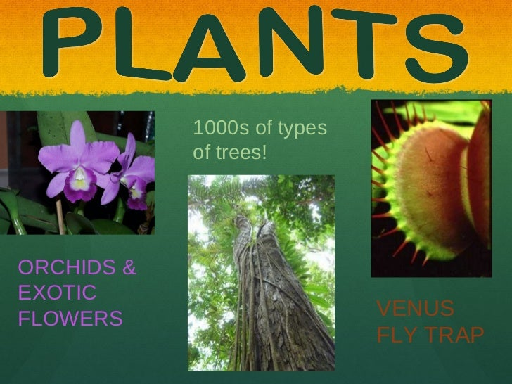 Tropical Rainforest Venus Fly Trap Venus Fly Trap