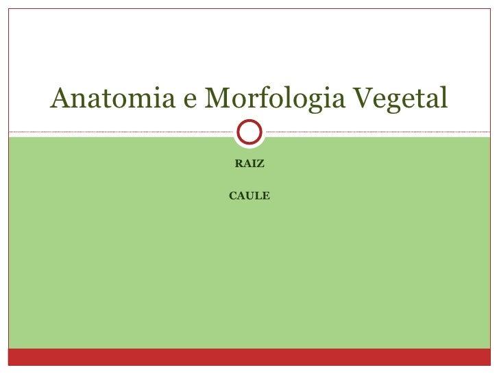 RAIZ CAULE Anatomia e Morfologia Vegetal