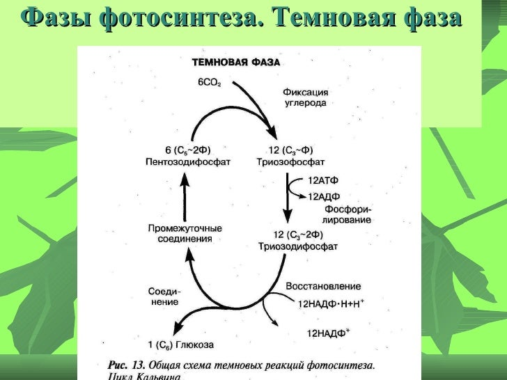 22. Фазы фотосинтеза.
