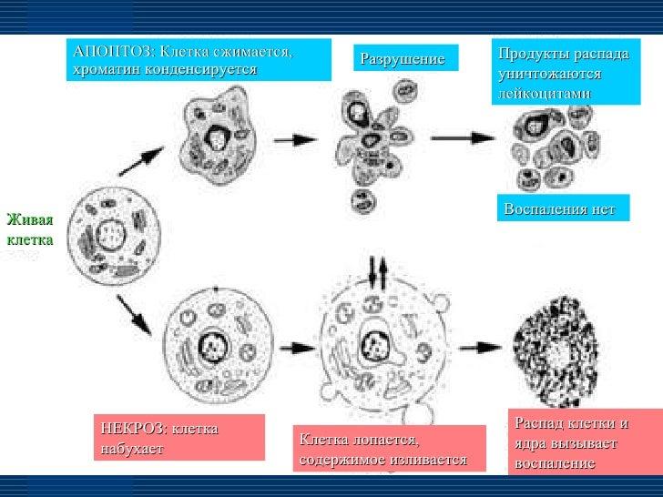 Живая клетка АПОПТОЗ: Клетка