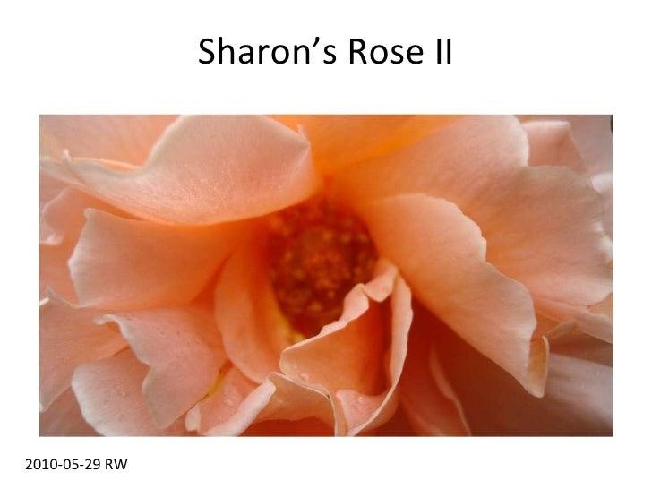 Sharon's Rose II 2010-05-29 RW
